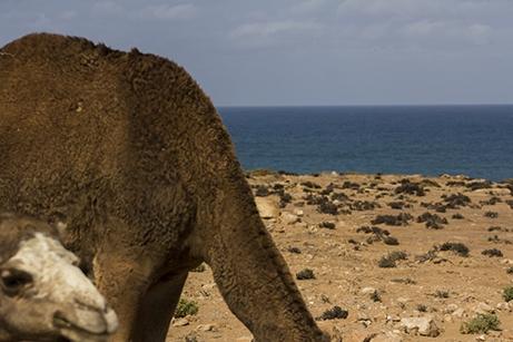 camello costa marruecos pablocaminante - Marruecos 2/3, Sahara Occidental