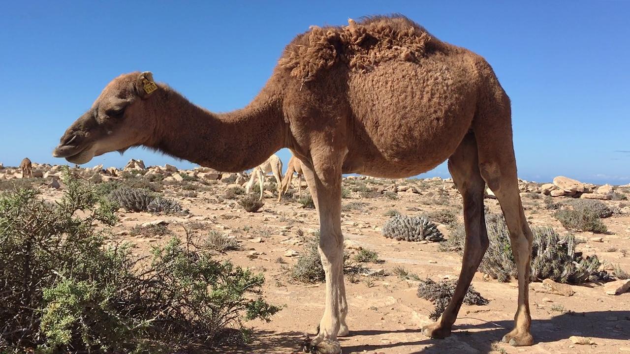 camello marron marruecos pablocaminante - Marruecos 2/3, Sáhara Occidental