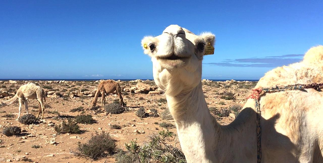 camello marruecos pablocaminante - Marruecos 2/3, Sahara Occidental
