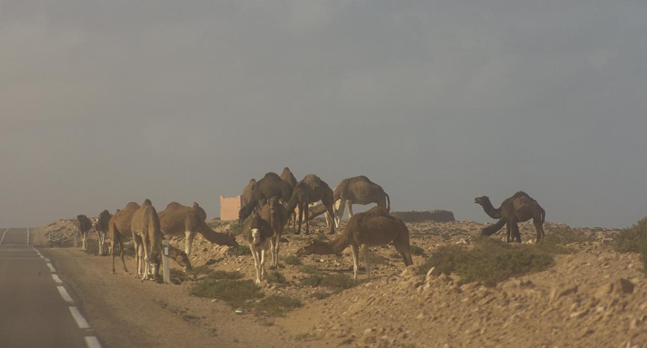 camellos carreteras marruecos pablocaminante - Marruecos 2/3, Sahara Occidental