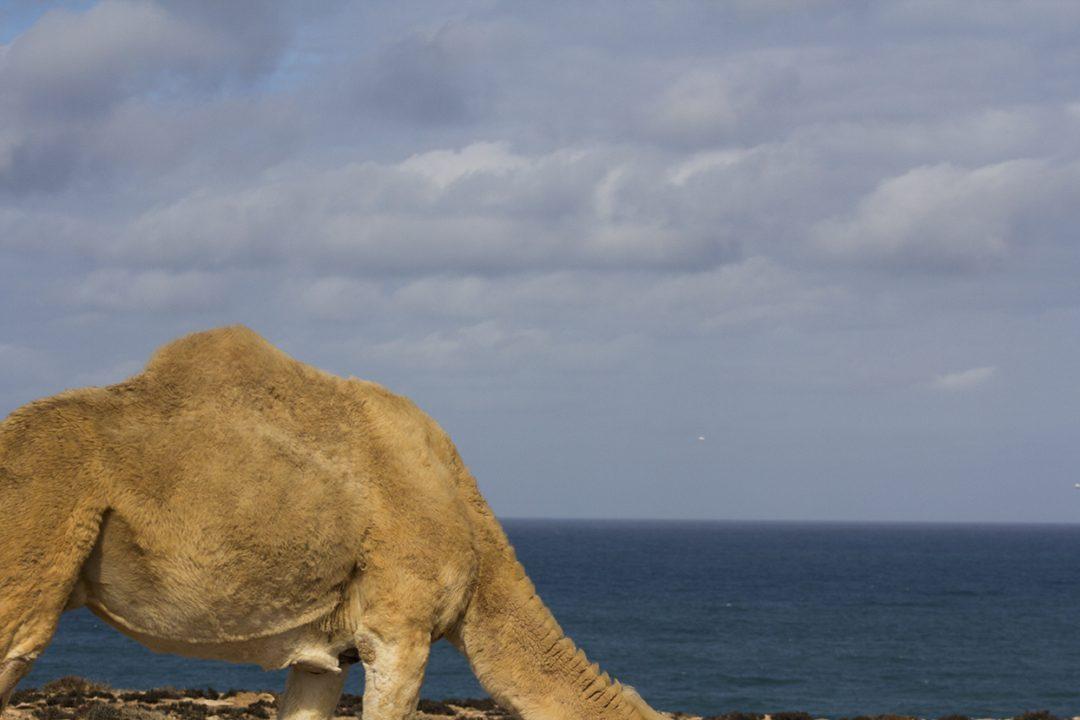 joroba camello marruecos pablocaminante 1080x720 - Marruecos 2/3, Sáhara Occidental
