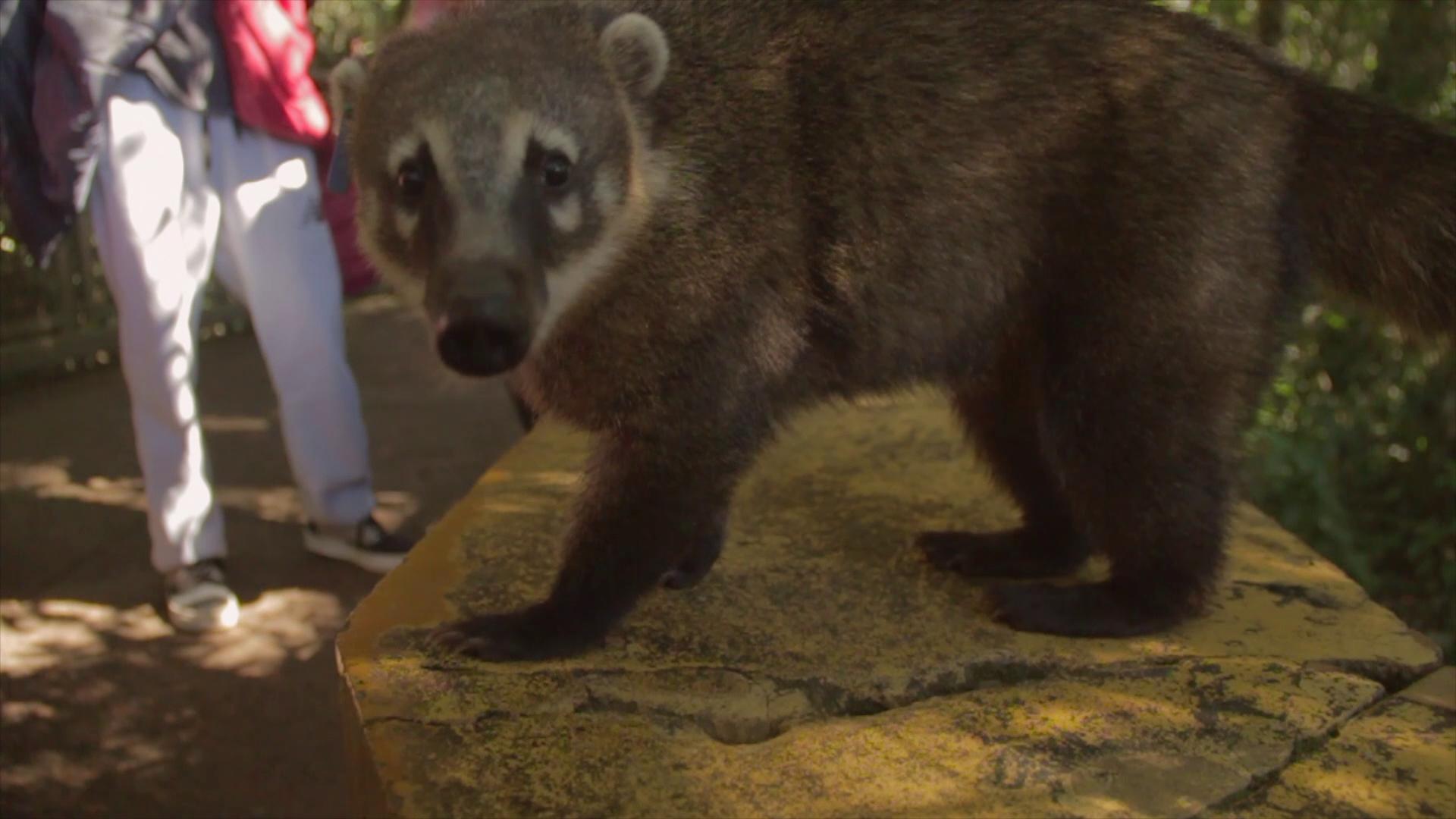mito iguazu coati pablocaminante - Audiovisual