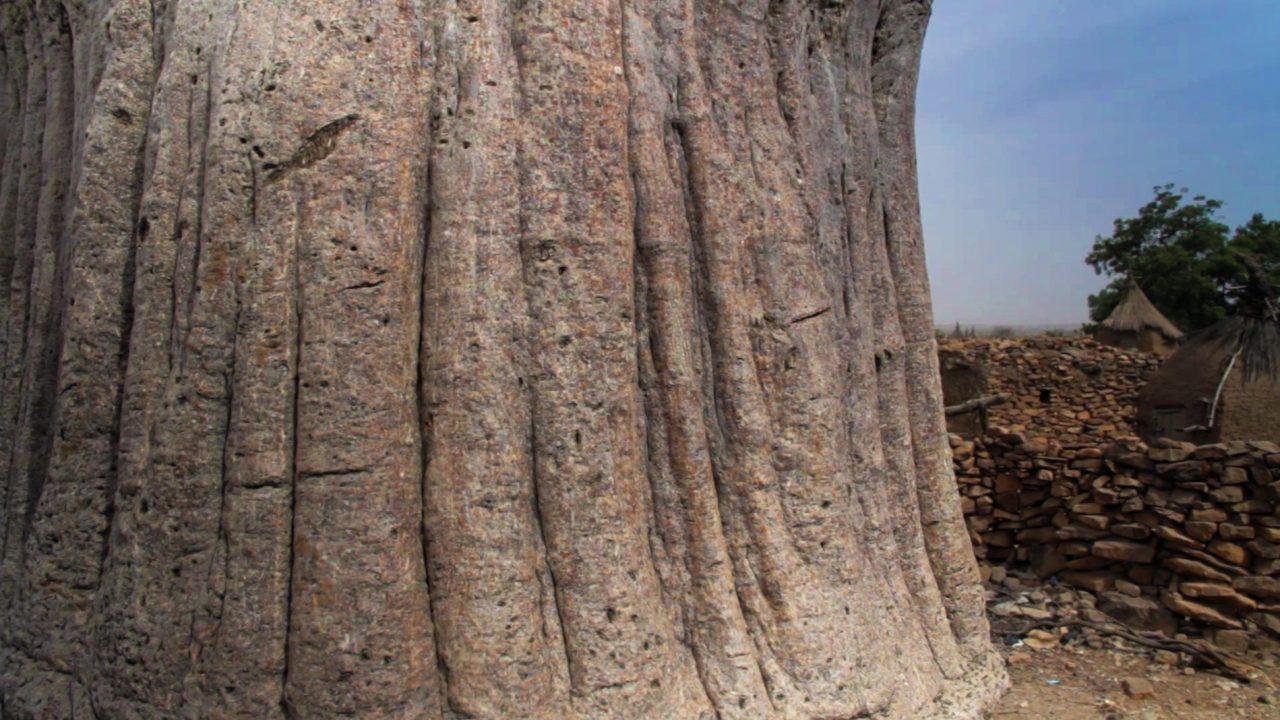 baobab pablocaminante 1280x720 - Malí 5, País Dogon II: Djiguibombó