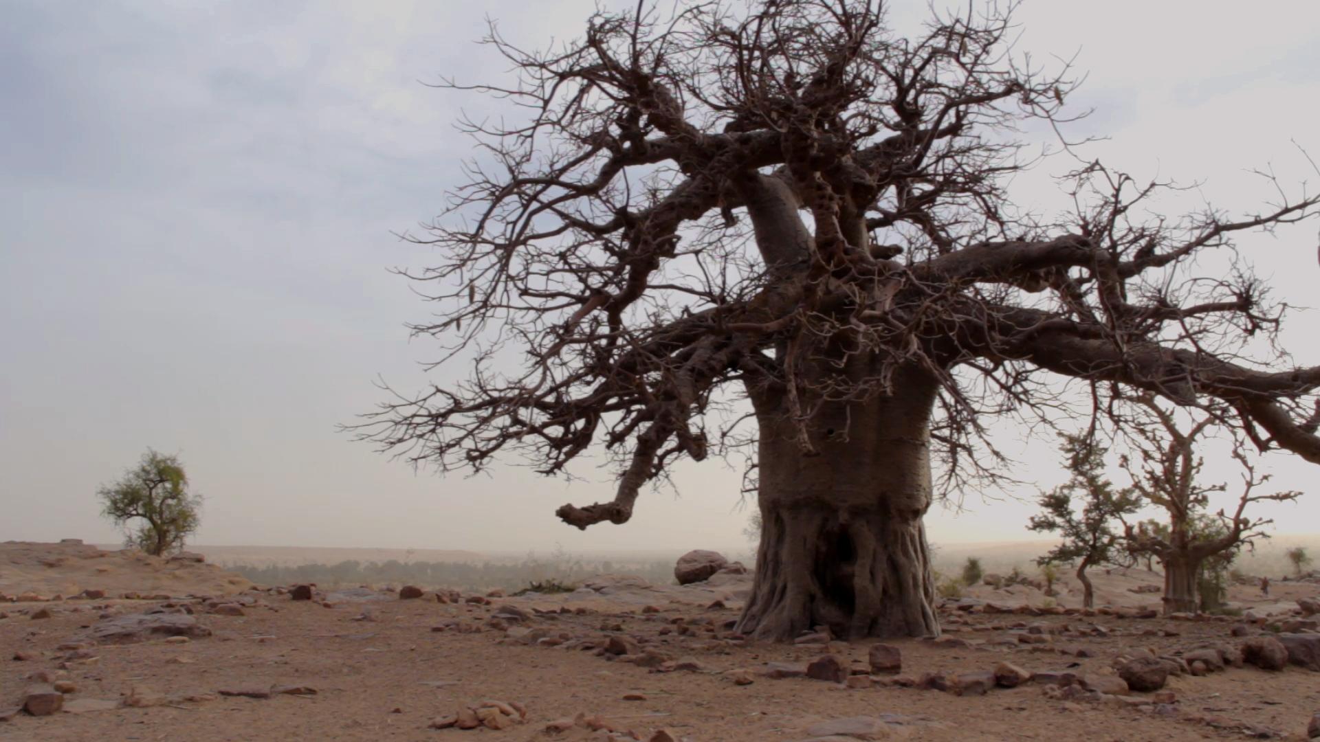 primer baobab dogon bandiagara malli pablocaminante - Malí 6, País Dogon III: Falla de Bandiagara